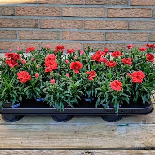 Dianthus | Licht rood
