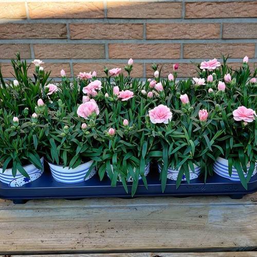 Dianthus | Licht roos