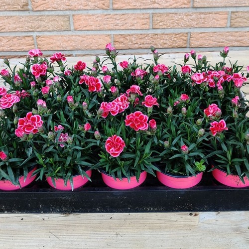 Dianthus | Rood & roos