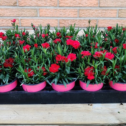 Dianthus | Rood