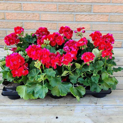 Geranium | Rood & roos