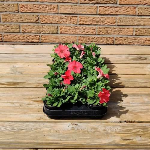 Petunia | Licht rood