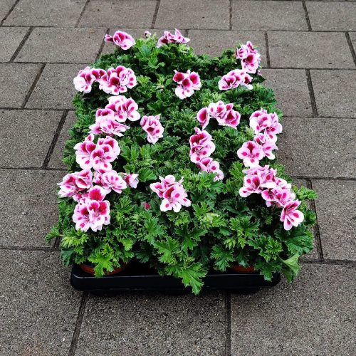 Violet geranium | Dubbel roos