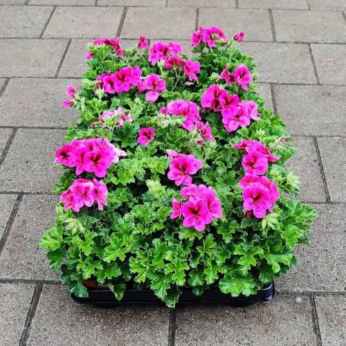 Violet geranium | Roos