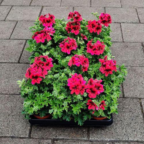 Violet geranium | Rood