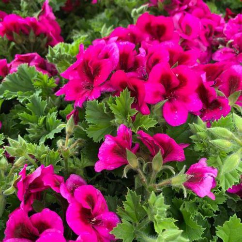 Violet geranium