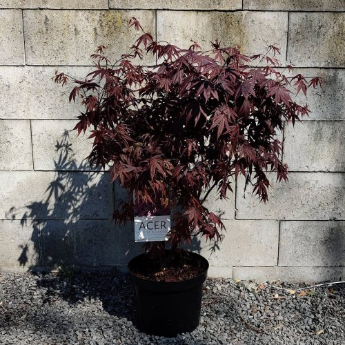 Acer palmatum | Bloodgood