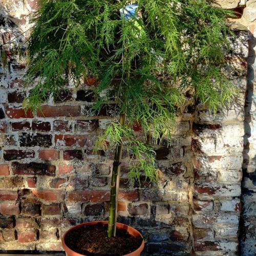 Acer palmatum | Dissectum