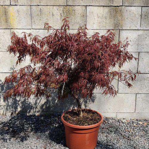 Acer palmatum | Garnet