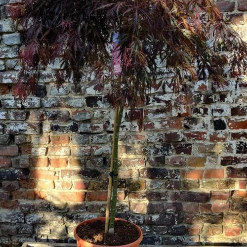 Acer palmatum | Tamukeyama