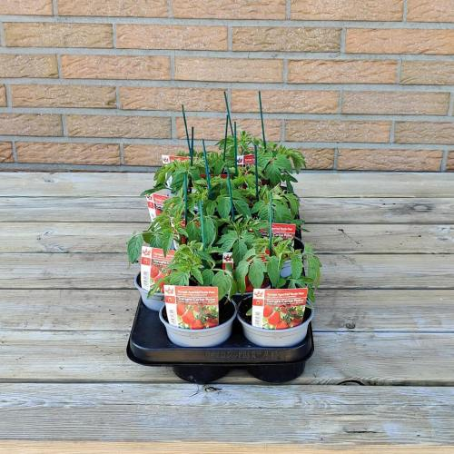 Tomaat | Rode aperitief tomaat peer