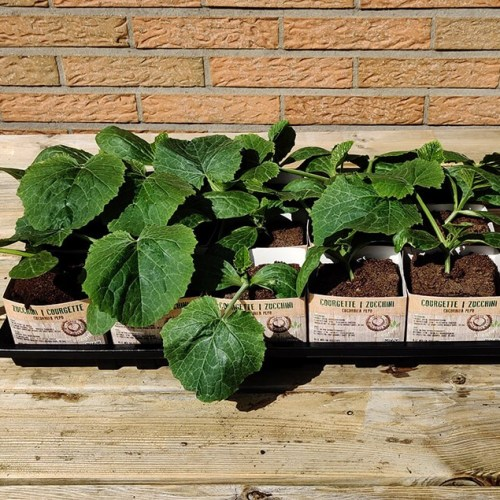 Courgette | Groene courgette