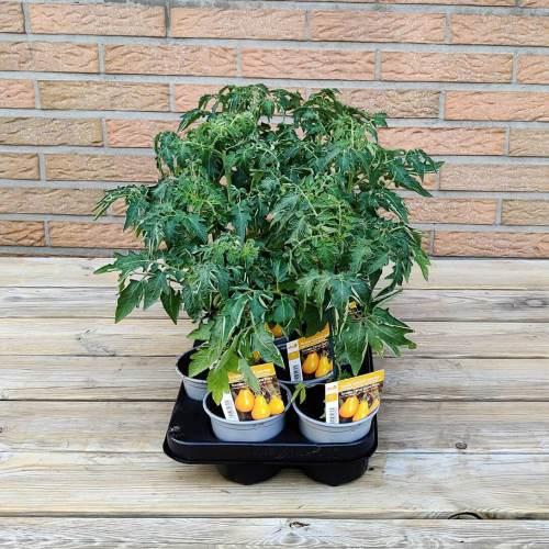 Tomaat | Gele aperitief tomaat peer