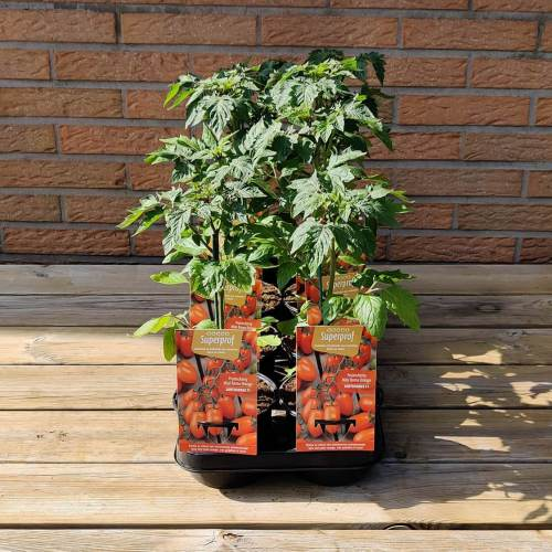 Tomaat | Oranje pruimcherry
