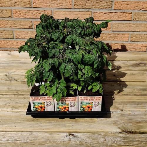 Tomaat | Pot-tomaat