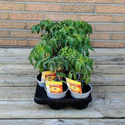Tomaat | Ananas tomaat