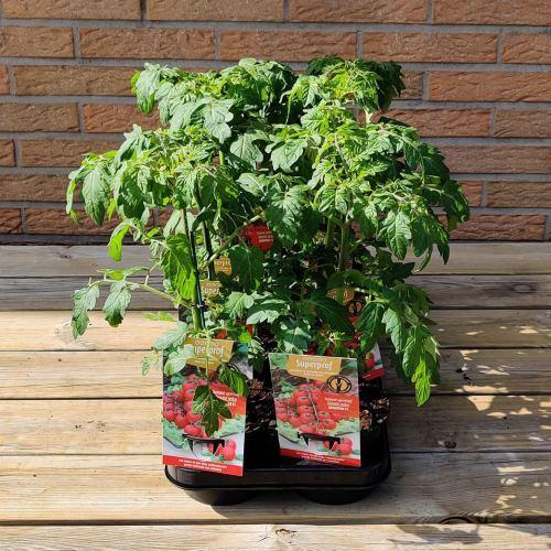 Tomaat | Geënt aperitief tomaat