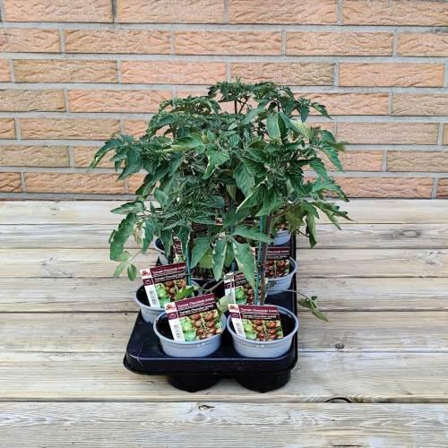 Tomaat | Chocolade tomaat