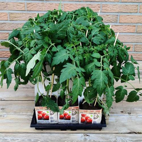 Tomaat | Geënt vleestomaat (dubbel)