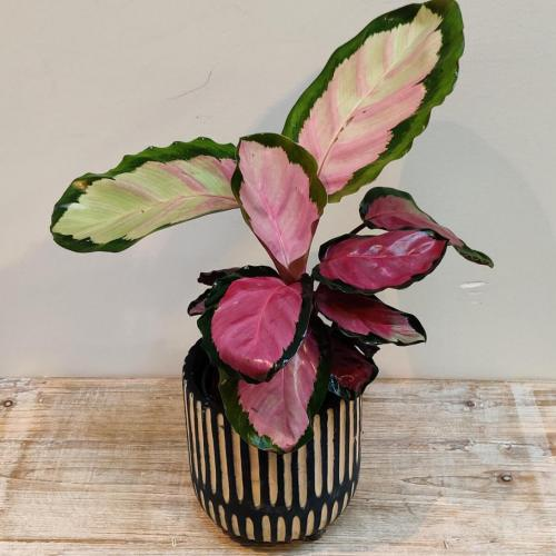 calathea-makoyana-35cm-roos