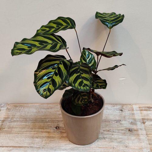 calathea-makoyana-35cm