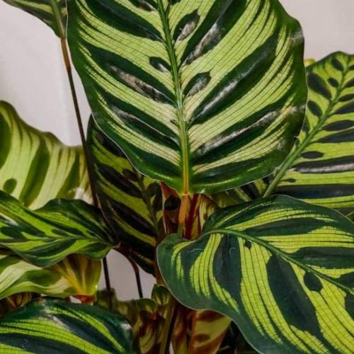 calathea-makoyana-60cm-1