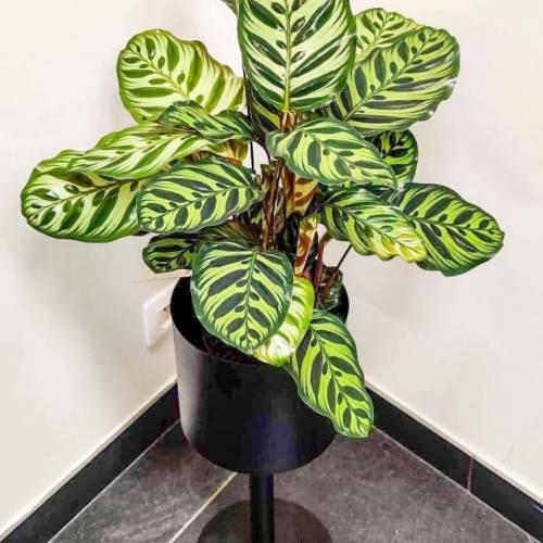 calathea-makoyana-60cm