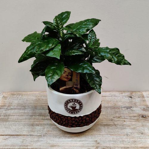 coffea-arabica-30cm