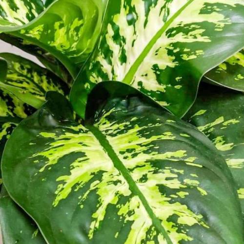 dieffenbachia-maroba-75cm-1