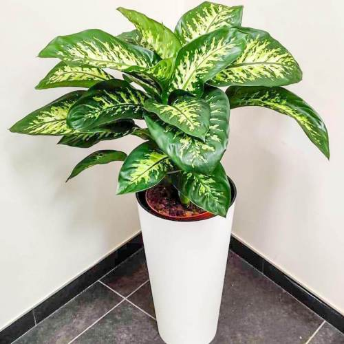 dieffenbachia-maroba-75cm