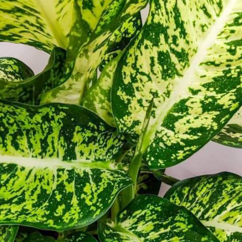 dieffenbachia-tropic-snow-65cm-1