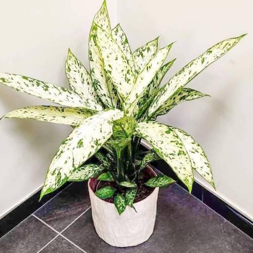 dieffenbachia-vesuvius-70cm