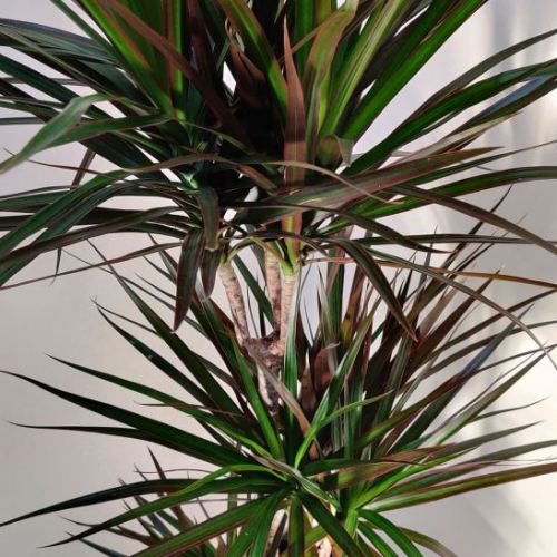 dracaena-marginata-130cm-1