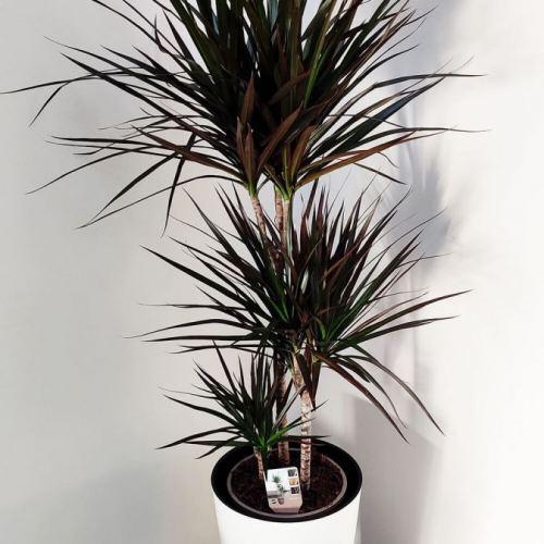 dracaena-marginata-130cm