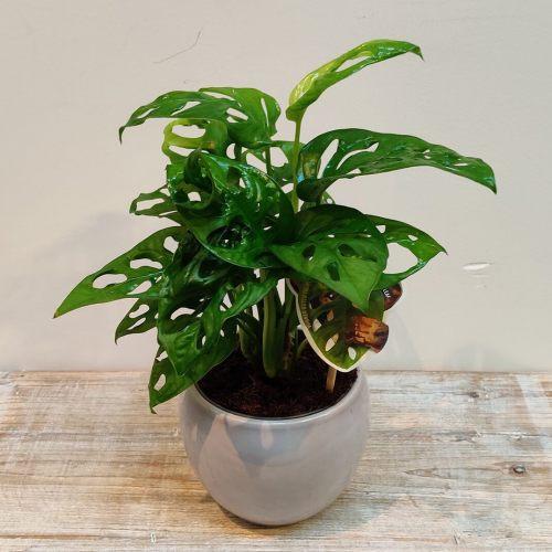 monstera-monkey-leaf-30cm