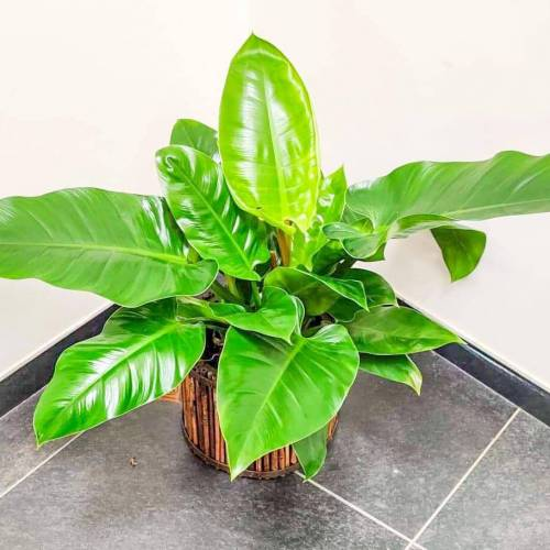 philodendron-imperial-green-70cm