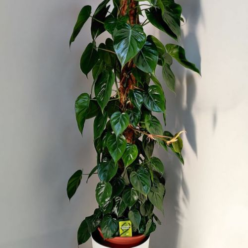 philodendron-scandens-160cm