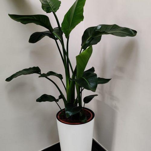 strelitzia-nicolai-140cm