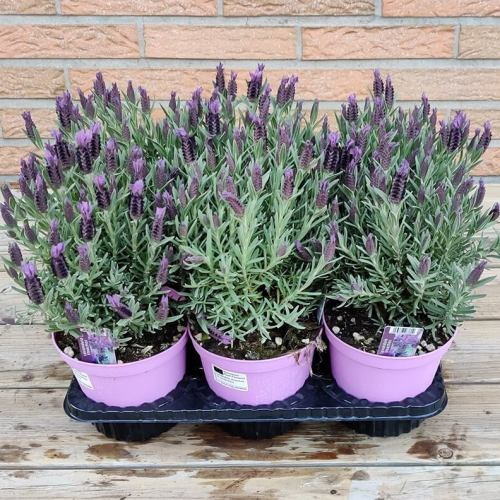 Lavendel Stoechas
