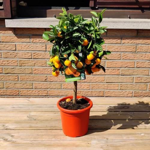 Calamondin (Calamondin Citrus Mitis)