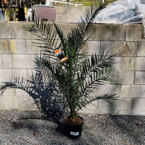 Canarische dadelpalm (of Phoenix canariensis)