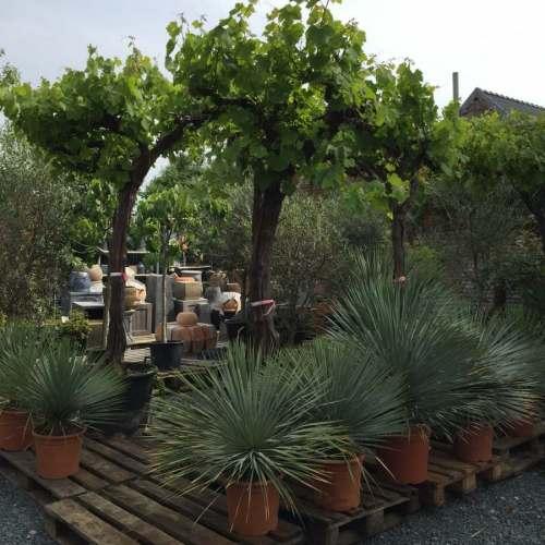 Druivelaars & Yucca rostrata