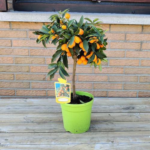 Japanse kumquat (Fortunella margarita)