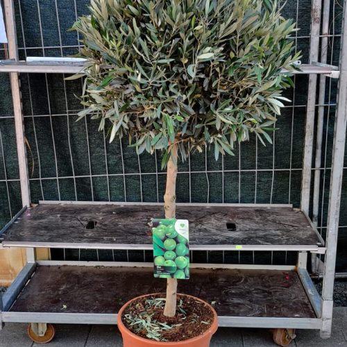 Olijfboom op stam