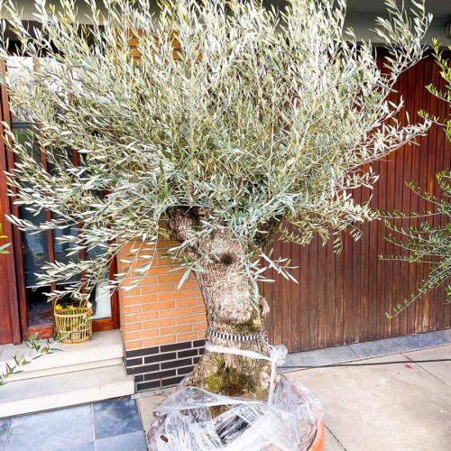 olijfboom-bonsai-tarrina