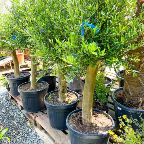 olijfboom-copa-45L