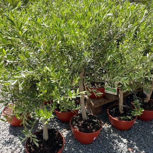 olijfboom-copa-80cm-2