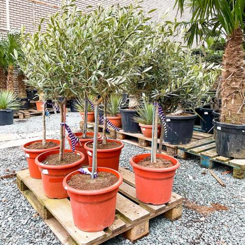 olijfboom-copa-90cm-2