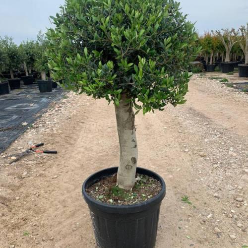 Olijfboom op dikke stam