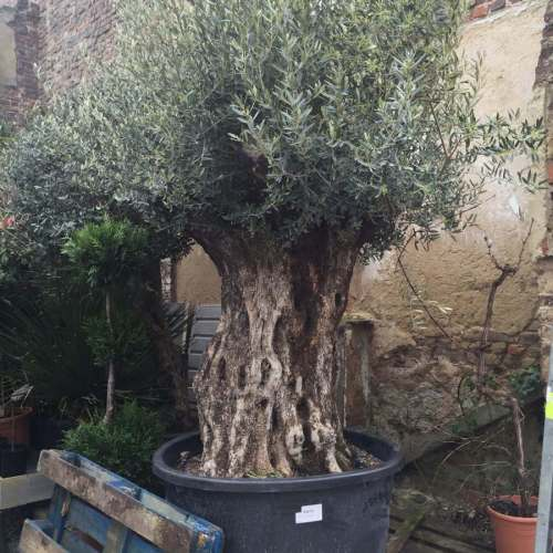 Olijfboom op extra dikke stam